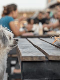 dog looking at human food